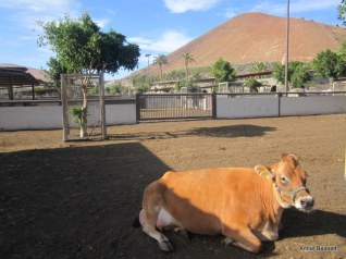 Jersey cow at Finca de Uga