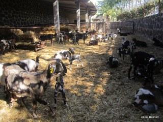 Majorera goats at Finca de Uga