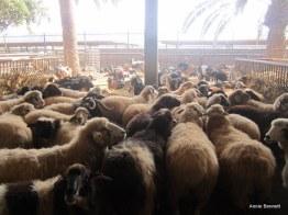 Canarian sheep at Finca de Uga