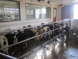 Milking Majorera goats at Finca de Uga